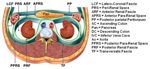 Gerota fascia anatomy