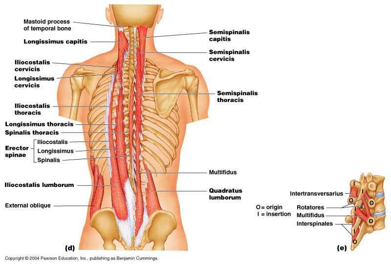 Catene Muscolari Miofasciali Immagini E Descrizione Dr