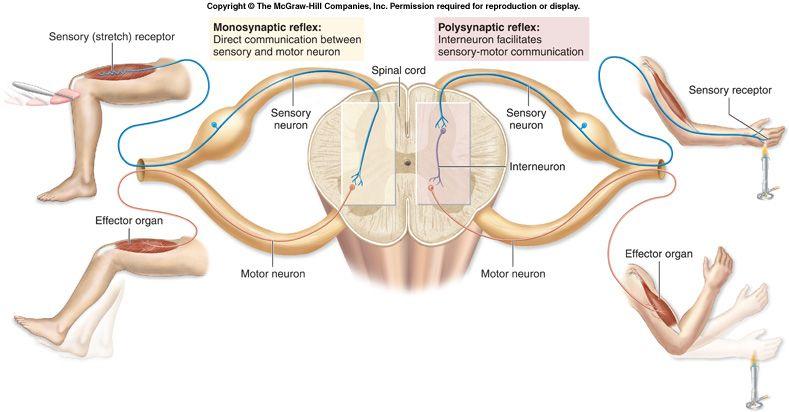 Schema fisiologia sistema nervoso